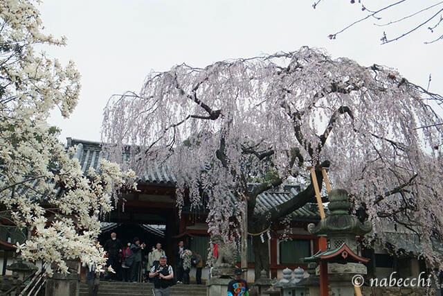 しだれ桜とハクモクレン 氷室神社