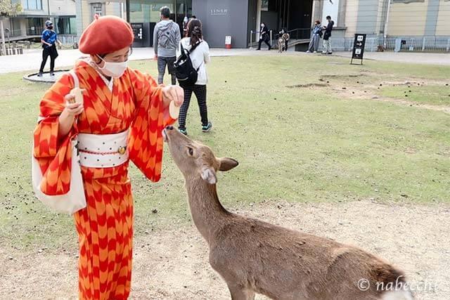 ウール着物姿で鹿に餌やり