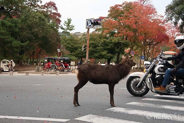 交差点でバイクを横目に立ち尽くす鹿