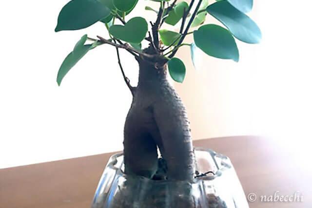 幸せを呼ぶ樹ガジュマル