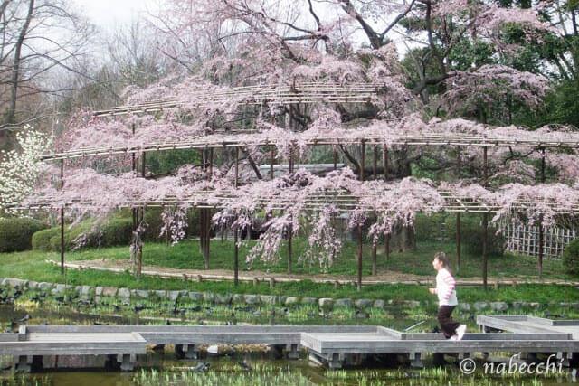 枝垂れ桜 京都植物園