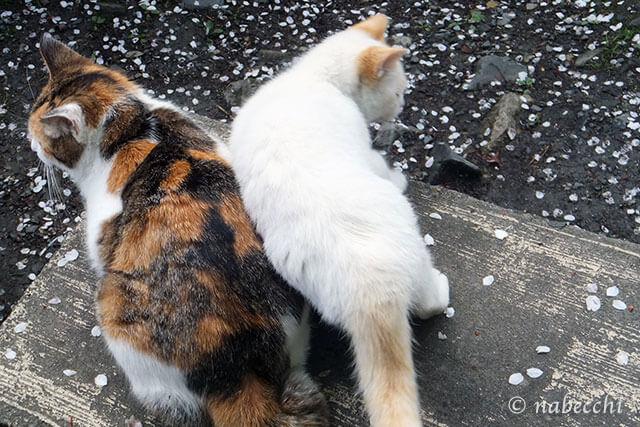 猫と桜の花びら