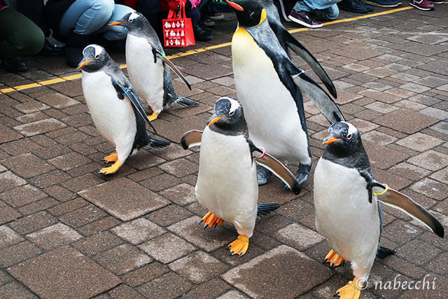 ペンギンパレード 登別マリンパークニクス