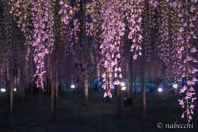 夜の紫藤 あしかがフラワーパーク