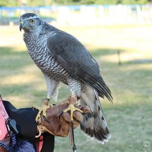 放鷹術の鷹
