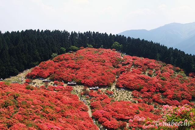 5月の葛城山 ツツジ紅色絨毯
