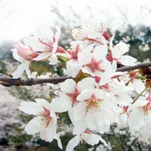二上山の桜が満開、子供も登れるゆったりハイキングスポット