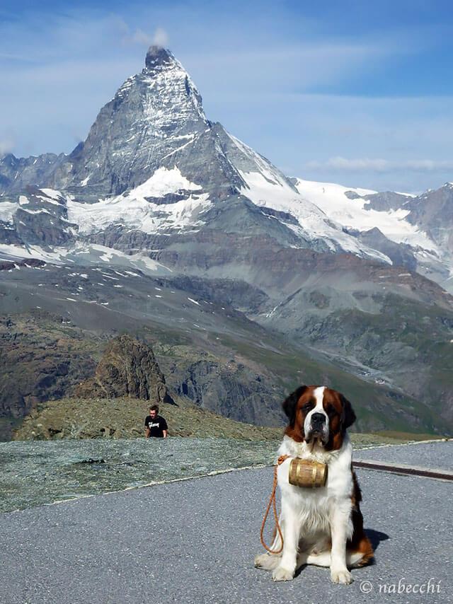 セントバーナード犬 ゴルナーグラート展望台