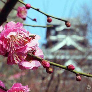 梅咲く熊本城、豪華絢爛!本丸御殿大広間