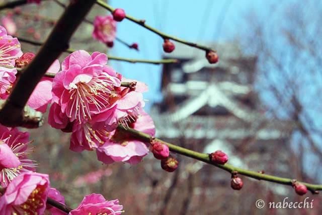 梅と熊本城