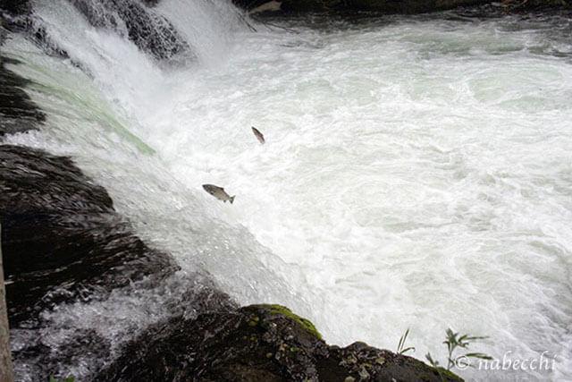 清里町さくらの滝 サクラマス滝越えジャンプ