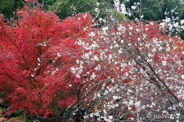 紅葉と桜の競演