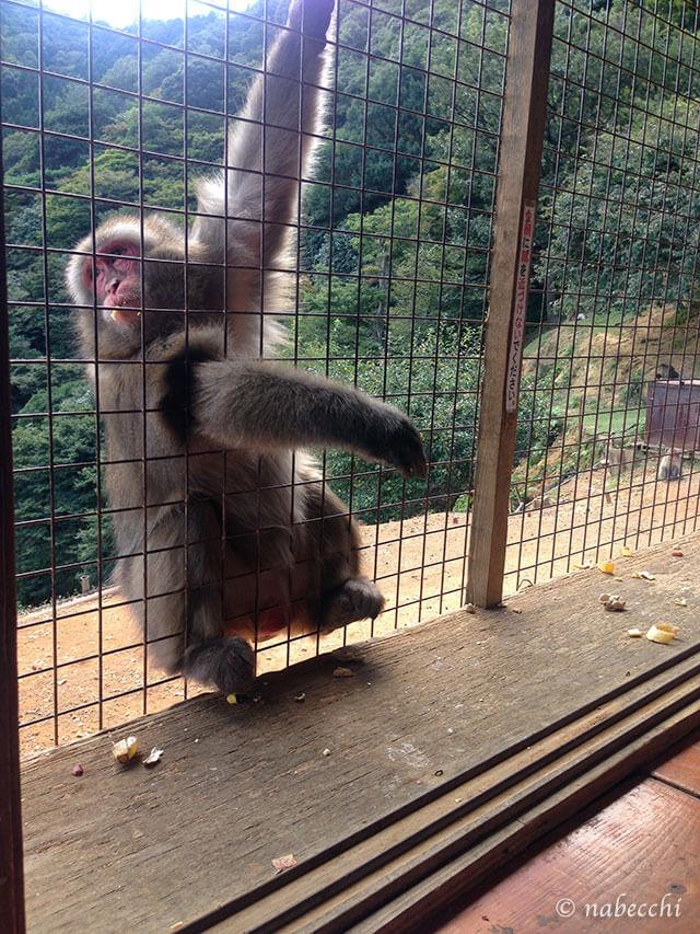 目を合わせない猿 嵐山モンキーパーク