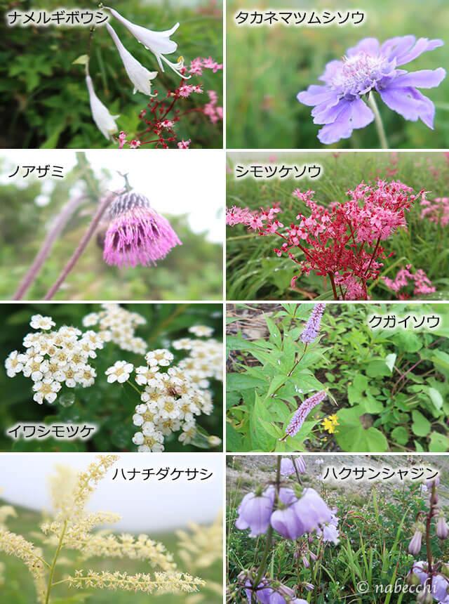 夏の白馬八方尾根の草花