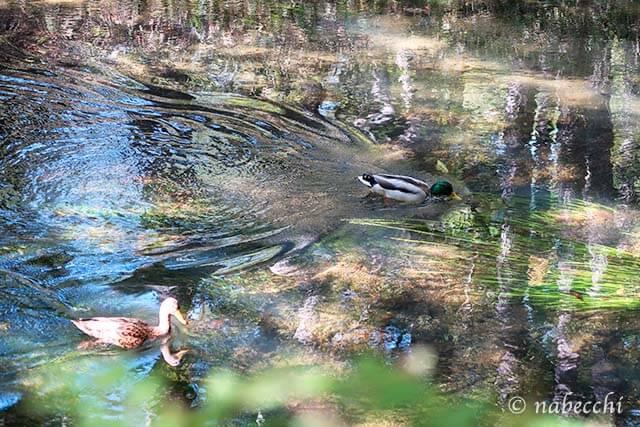 湯川のつがい鴨